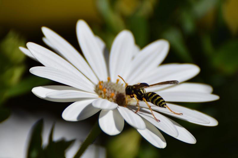 c'è un'ape che si posa... di s_ornella