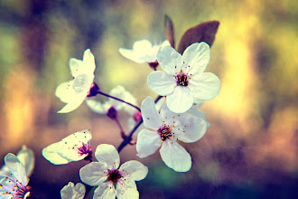 Photo: We might have spent most of spring under a rain cloud, but on the odd day it wasn't so soggy I did manage to get a few blossom shots :)  #bokehtuesday curated by +Bob Baxley  #springfevertuesday curated by +Vesna Krnjic  #textureblendphotography #textureblendtuesday #textureblend curated by +Gemma Costa   Prints/cards at http://www.redbubble.com/people/inspiraimage/works/8856603-spring-blossom