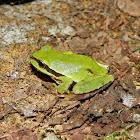 Mountain Treefrog