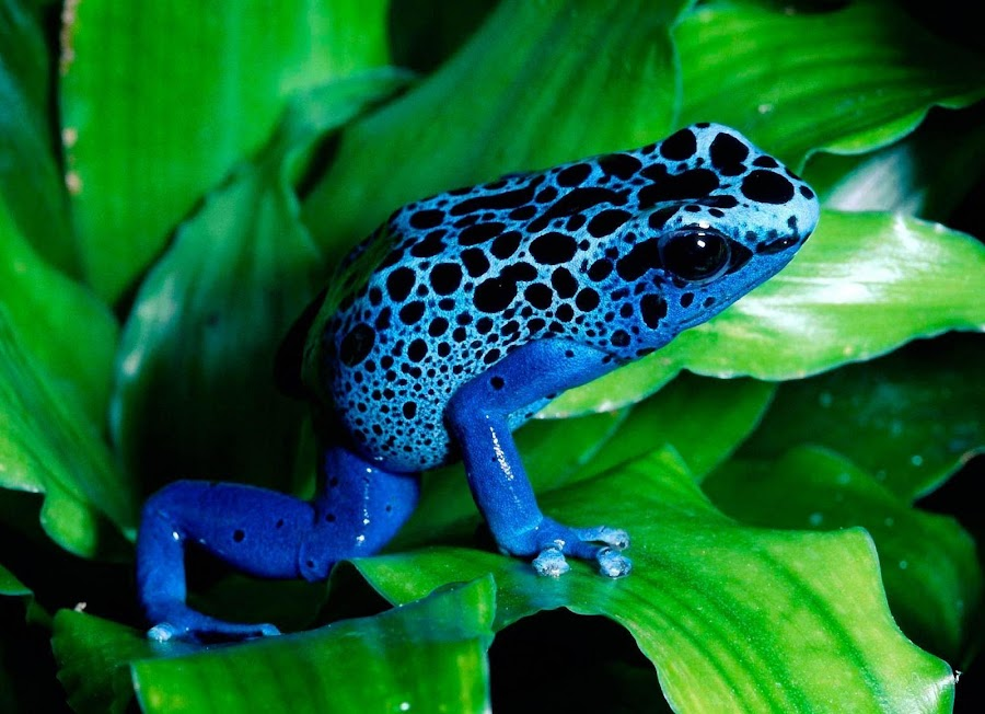 swenvii blue frog by Raahan Singh - Animals Amphibians ( abstract curves, inspiration, thunderstorm, snowflake, forest )