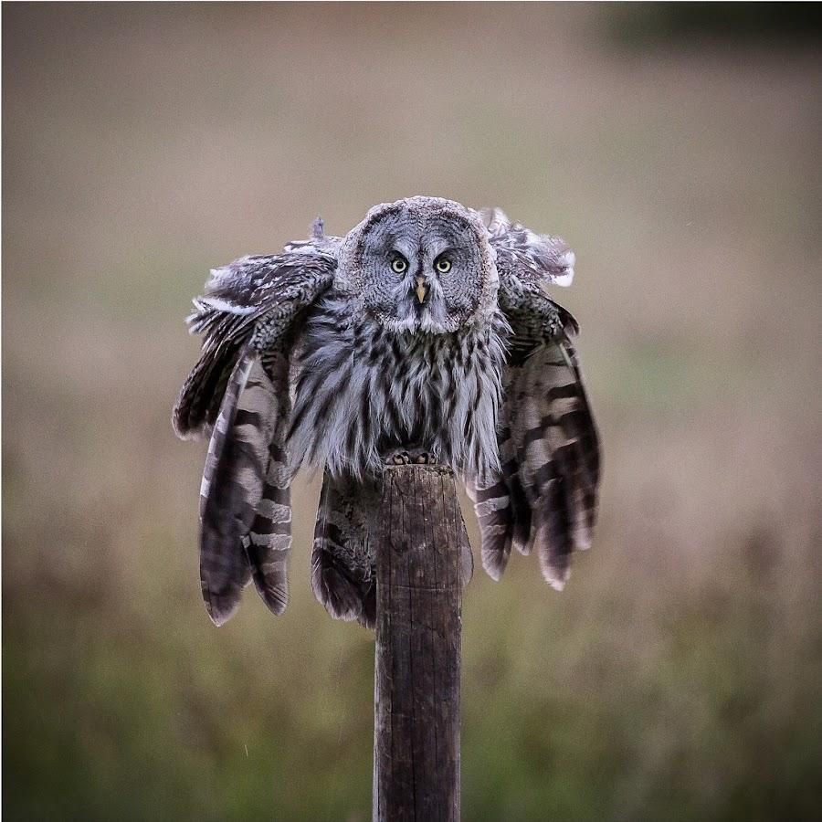 The phantom of the north! by Andreas Hemb - Animals Birds ( bird, nature, owl, wildlife, great grey owl,  )