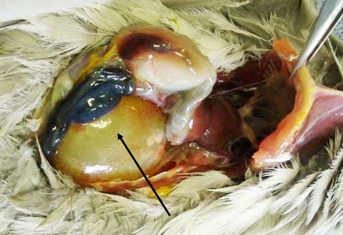 Renal cyst in a cockatiel.