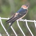 Red-rumped Swallow; Golondrina Daurica