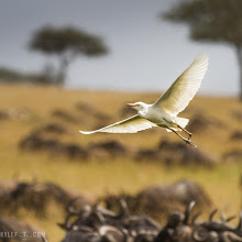Photo: Egret on a wing Serengeti Tanzania  This was taken moments after some of the previous Egret shots I have shared with you. After getting used to the way these birds fly so I could anticipate their movements, I got into photographing them as they fly. I chose this image because the painterly like Serengeti background is still somewhat recognizable as the iconic Acacia trees stick out of the horizon and the horns of the wildebeest populate the bottom.  Photographic Details: The important part here was freezing the motion so I could have the wings and the birds still. For this reason I used a shutter speed of 1/1000th of a second, which is usually fast enough to capture most birds.  Camera settings: 1/1000s f/7.1 ISO160 400mm  For #midairmonday curated by +Jeff Moreau and #actionmonday curated by +Adrian Buturca