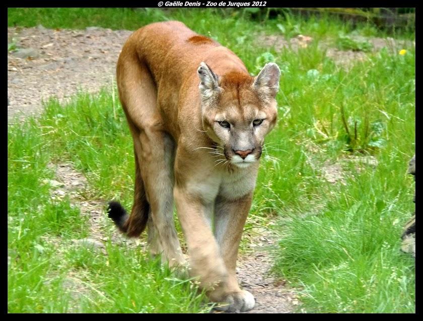 Puma, Jurques - Tous droits réservés Gaëlle Denis