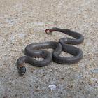 Prairie Ringneck Snake