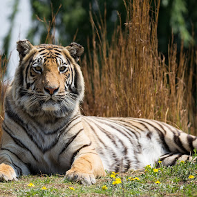 by Dawie Nolte - Animals Lions, Tigers & Big Cats ( big cat, cat, tiger, whiskers, yellow, stripes,  )
