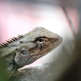 ID: Modern Jurassic Park by Shibalik Choudhury - Animals Reptiles ( chameleon, closeup, nature, animal, garden, terrace, reptile, wild )
