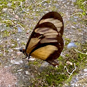 Eupompe Clearwing