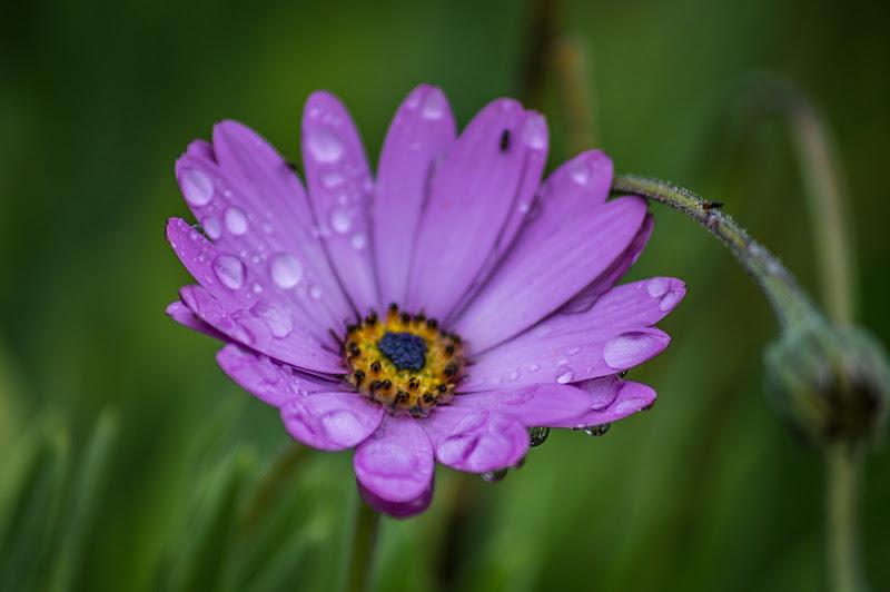 Fiore dopo la pioggia. di antonello1685