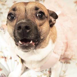 Brandi by Renee LaFlesh - Animals - Dogs Portraits (  )