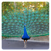 Peacocks logic game