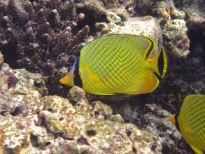 Photo: close-up of a lattice butterflyfish
