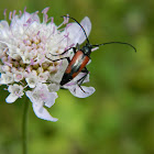 Red flower longhorn
