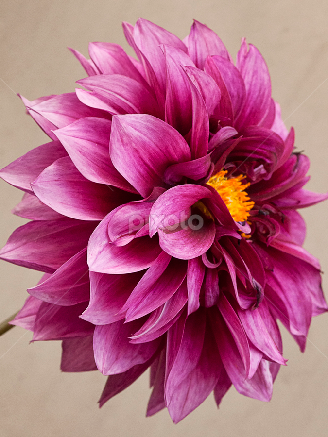 by Bharat Dudeja - Nature Up Close Flowers - 2011-2013 ( petals, pink, dahlia, flower,  )