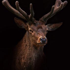 Stag by Wilson Beckett - Animals Other Mammals (  )