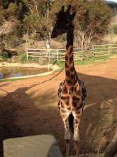 Photo: Day 6: Giraffe