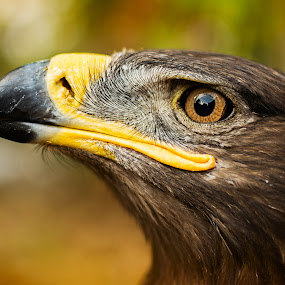 Unconquered by Dmitriy Yanushevichus - Animals Birds ( bird, eagle, zoo, beak, eye,  )