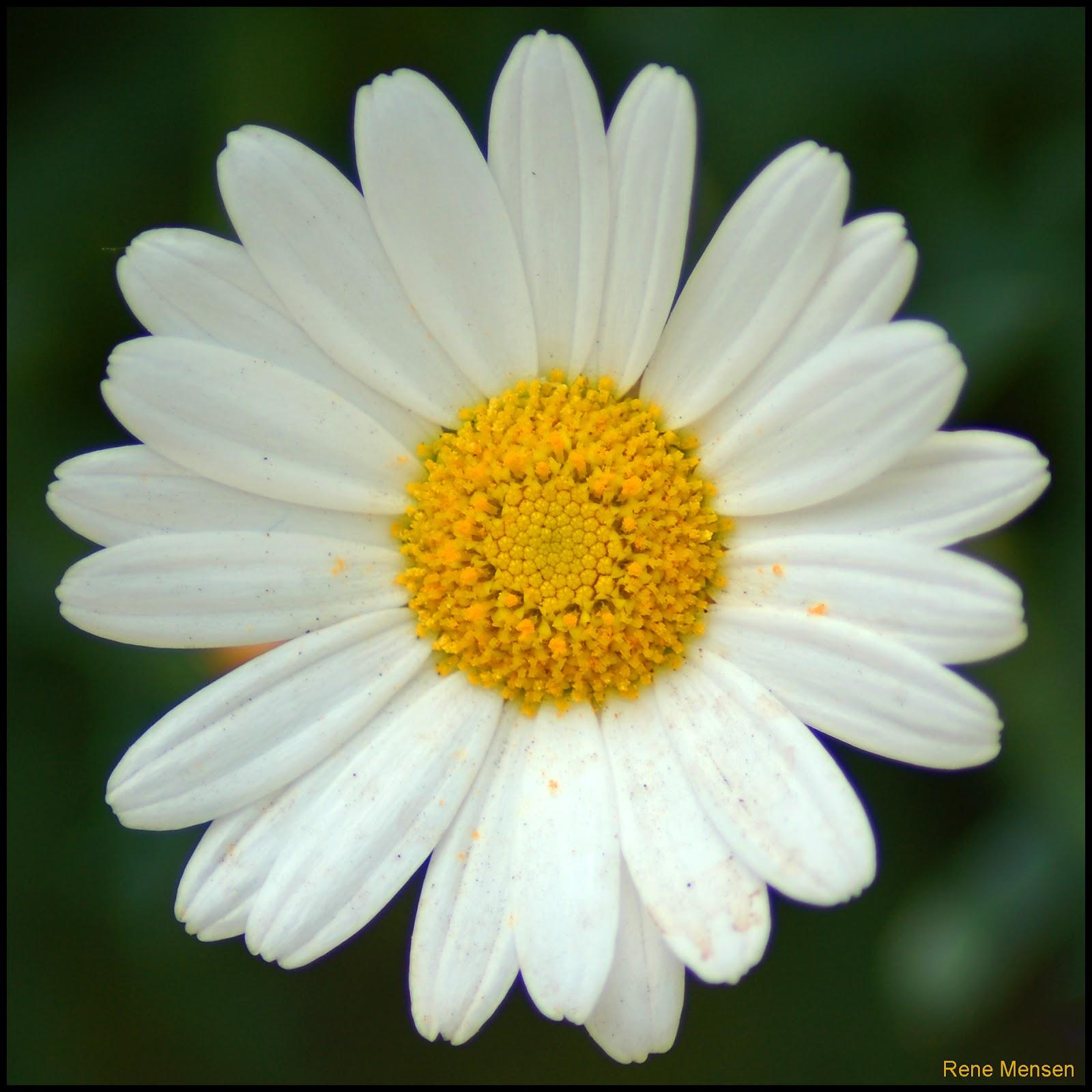Daisy (5981645737).jpg