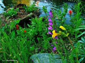 Photo: If you build it, they will come. This is always true when you build the right habitat for wetland wildflowers. The purple flower is a native penstemon that found its way to its new home with no help from us  also shown: red: indian paintbrush yellow: natural hybrid tilings/seep monkeflower.
