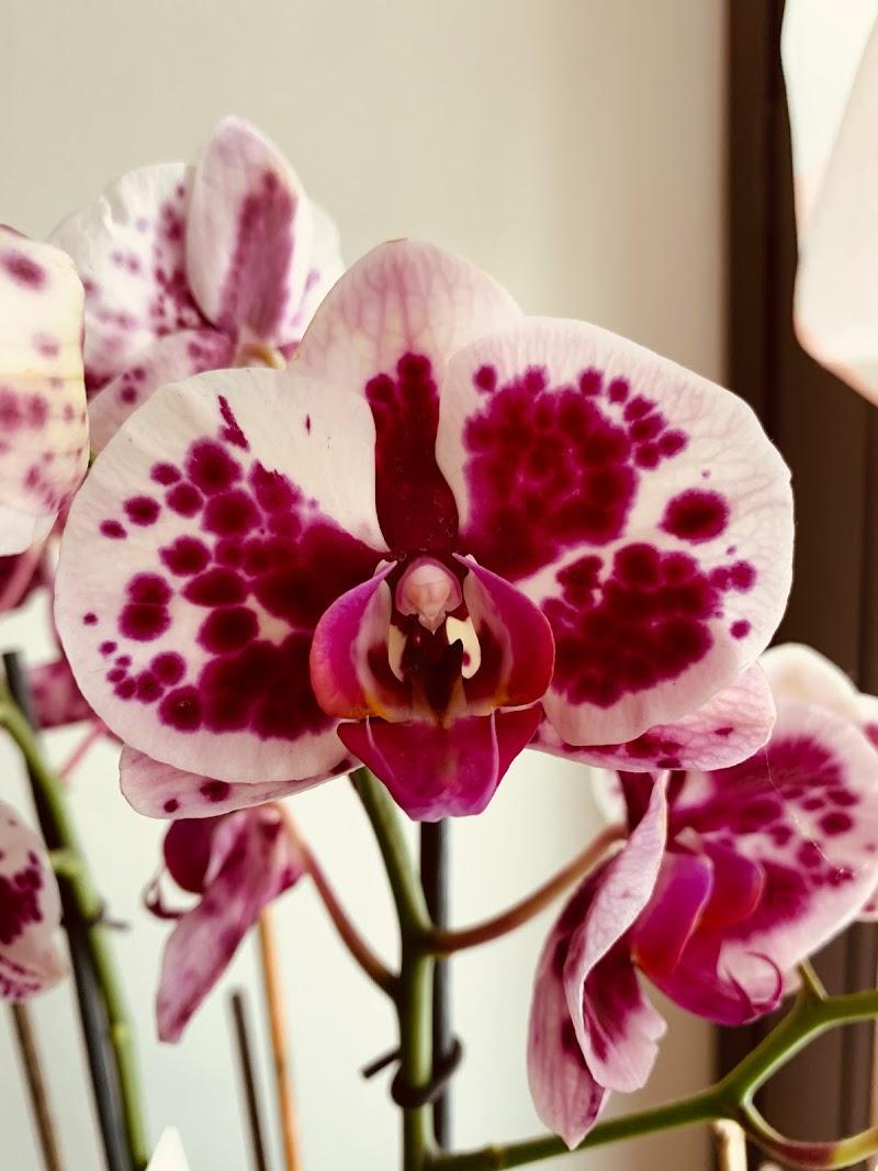 Orchidea  di GiuG