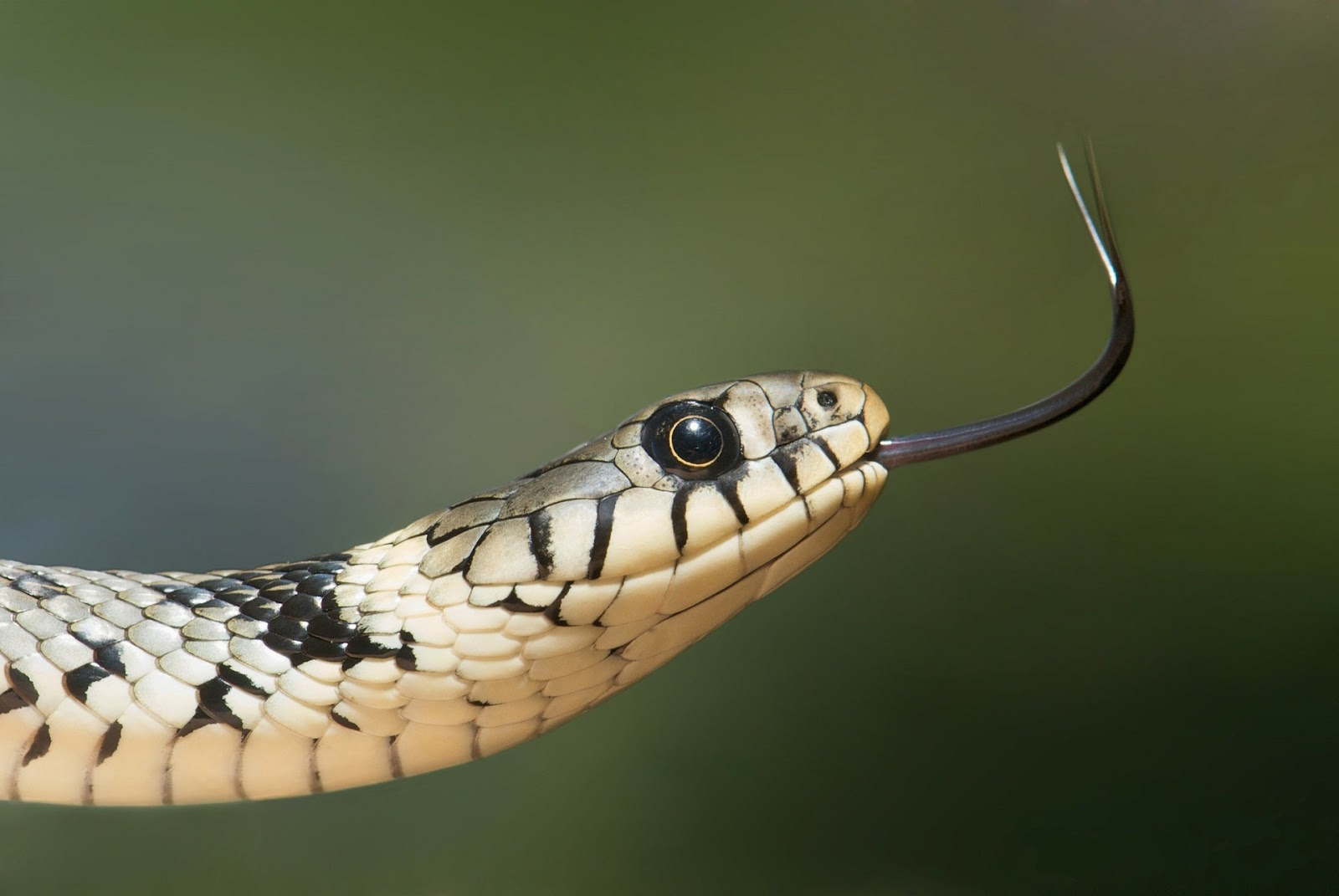 Upclose snake eye with tongue out