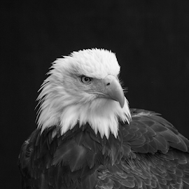 Bald eagle by Garry Chisholm - Black & White Animals ( raptor, bird of prey, nature, garry, bald eagle )