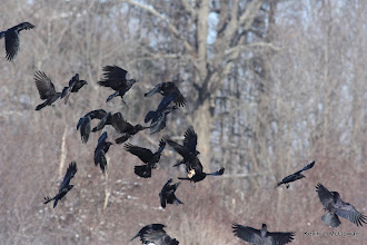 Photo: American crow carrying food with feet (VERY unusual); chased by other crows