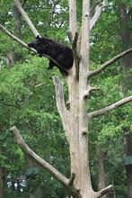 Foto: När vi kom förbi björnarna denna gång, så låg en och sov högt uppe i ett träd!!