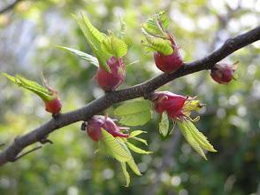Photo: 栗の木の虫こぶ。 2007.04.10 背戸山にて。 クリタマバチは栗の大害虫で新芽に虫こぶを作ります。虫こぶになった新芽はそれ以上伸長せず、花も咲きません。