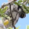 Southern 2-toed Sloth