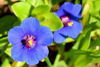 Photo: Anagallis foemina, centonchio azzurro, blue pimpernel