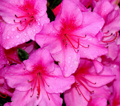 Photo: Year 2 Day 145 -  Azaleas at the Campsite
