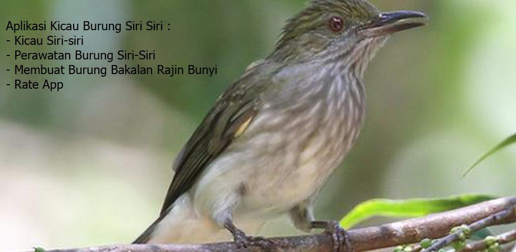 Kicau Burung Siri Siri 1 0 Apk Download Com Tidut Kicauburungsirisiri Apk Free