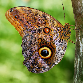 Morpho by Gérard CHATENET - Animals Insects & Spiders