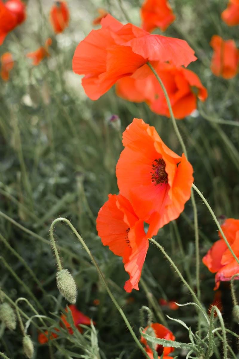 Flowers di attilio_corso