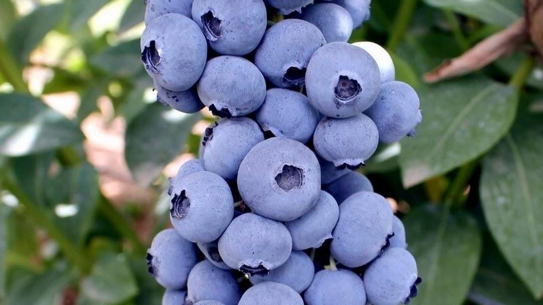 DiMeo Blueberry Farms & Blueberry Plants Nursery - Buy