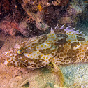 Grouper Fish.