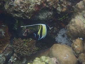Photo: Zanclus cornutus (Moorish Idol), Sand Island, Palawan, Philippines.