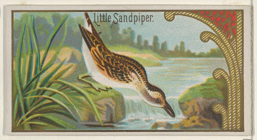 Little Sandpiper, from the Game Birds series (N13) for Allen & Ginter Cigarettes Brands