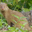 Small Asian Mongoose