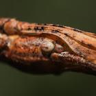 Northern Walkingstick