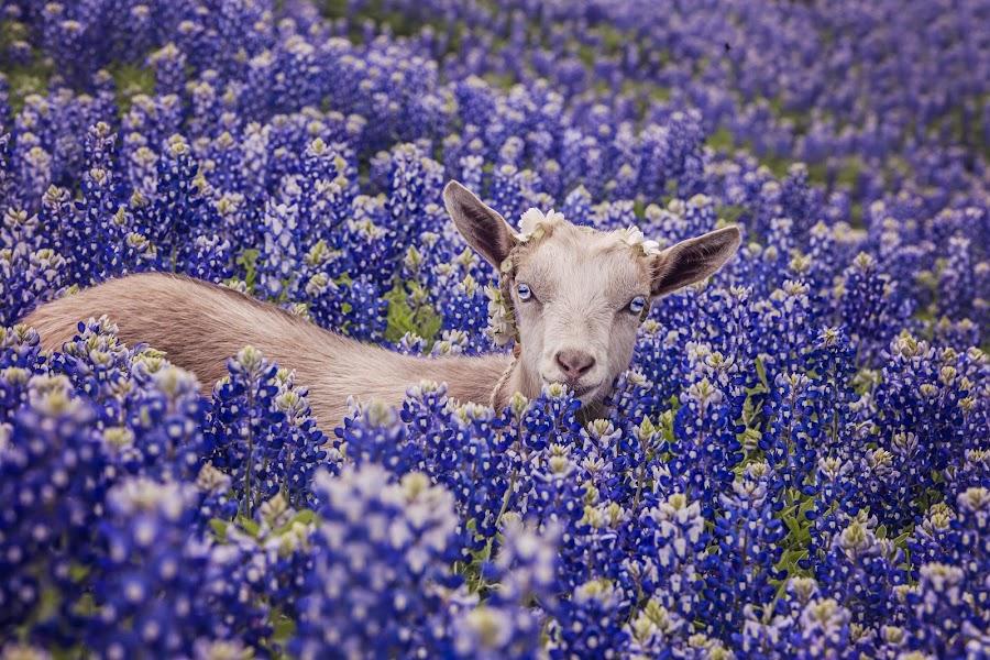 by Kelley Hurwitz Ahr - Animals Other Mammals ( bluebonnets, april 2015,  )