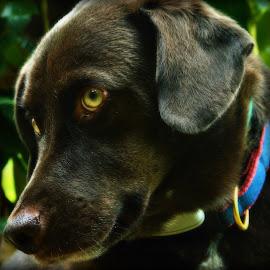 Green eyes by Kristin Loadwick - Animals - Dogs Portraits ( animals, dogs, portraits, dog, close up, eyes,  )