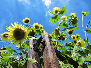 Photo: Sunflowers growing over a wooden fence at Cox Arboretum and Gardens of the Five Rivers Metroparks in Dayton, Ohio.