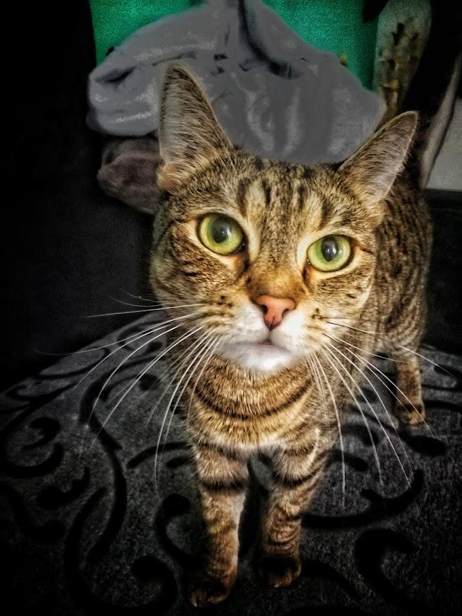 Bella bubu 😍 by Baks Berbl - Animals - Cats Portraits