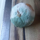 Green Rot Mold