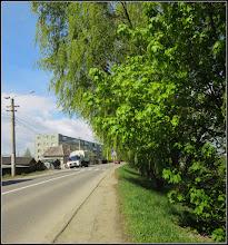 Photo: Arțar, Paltin de munte - (Acer pseudoplatanus) - de pe Str. Constructorilor, dig - 2017.04.24