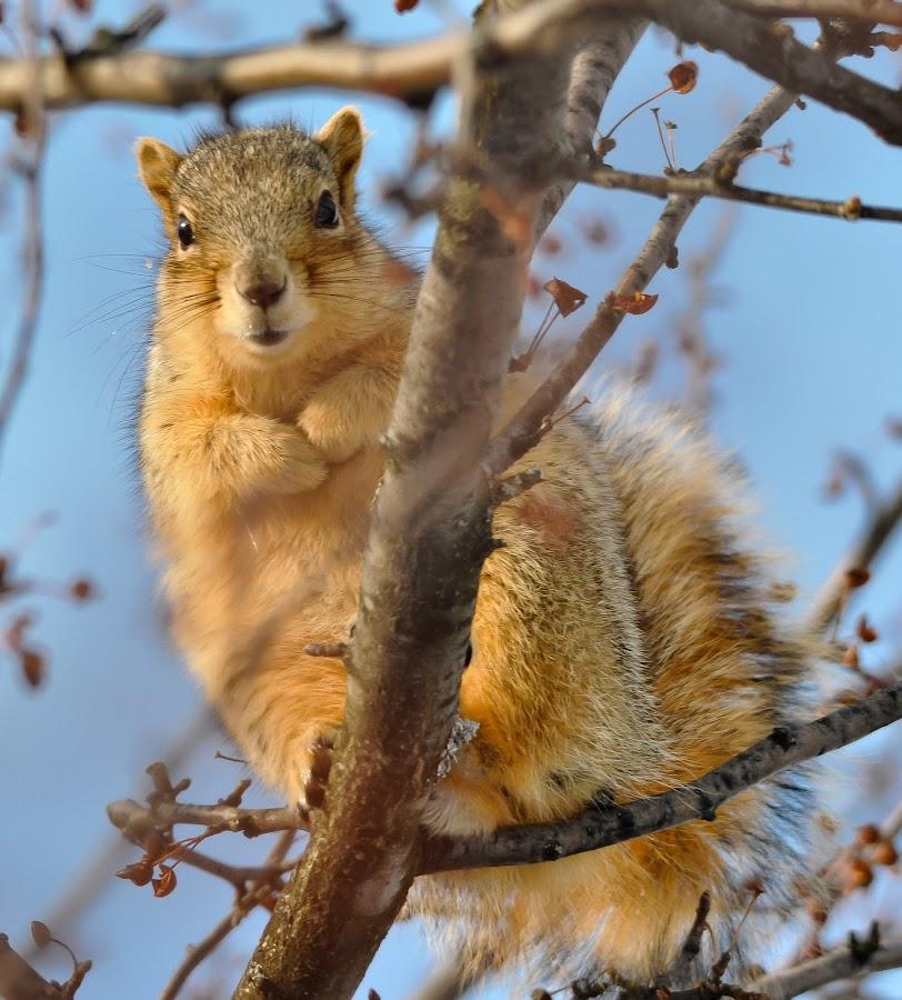 by Jan Crites - Animals Other Mammals ( tree, stare, wildlife, squirrel, berries )