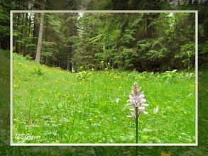 Photo: Orchis de Fuchs, Dactylorhiza fuchsii au Bois de la Râpe